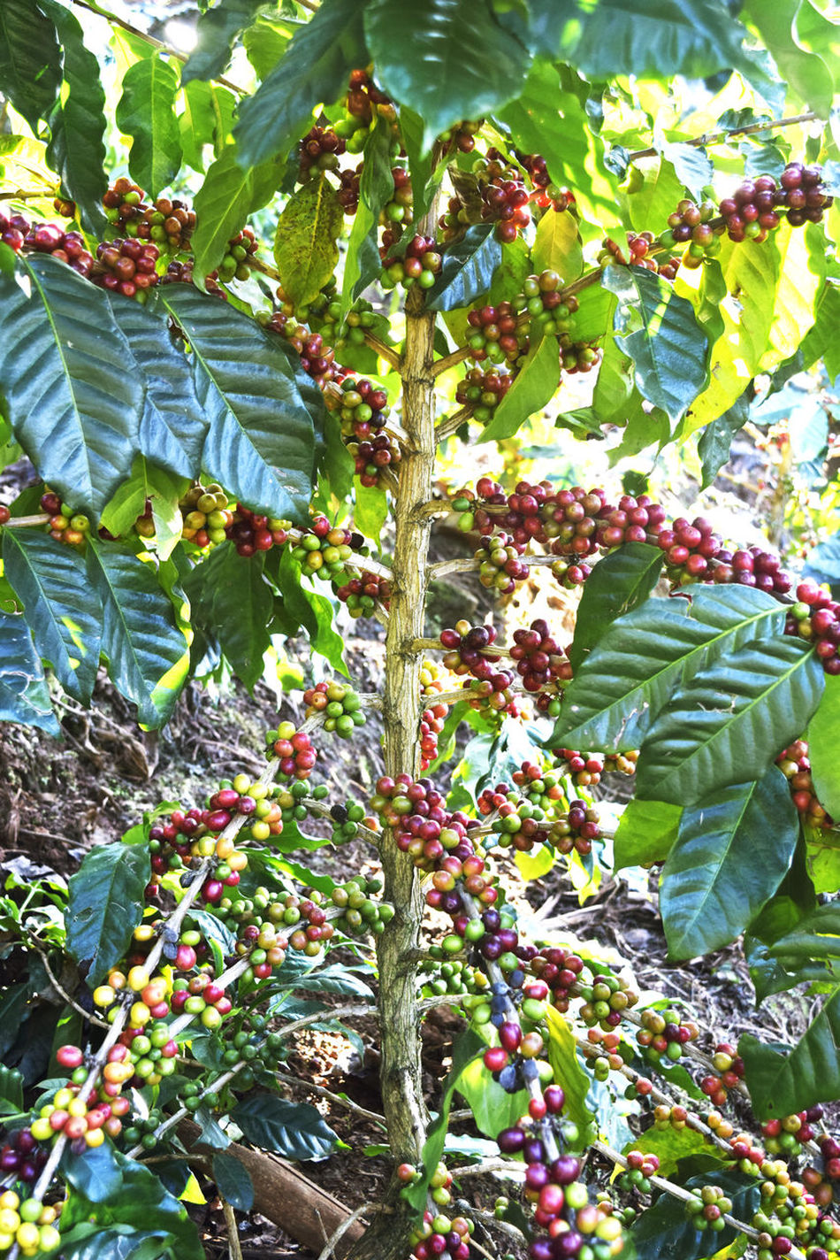 Beauty In Nature Branch Close-up Day Food Food And Drink Freshness Fruit Green Color Growing Growth Hanging Healthy Eating Leaf Low Angle View Nature No People Outdoors Plant Tree