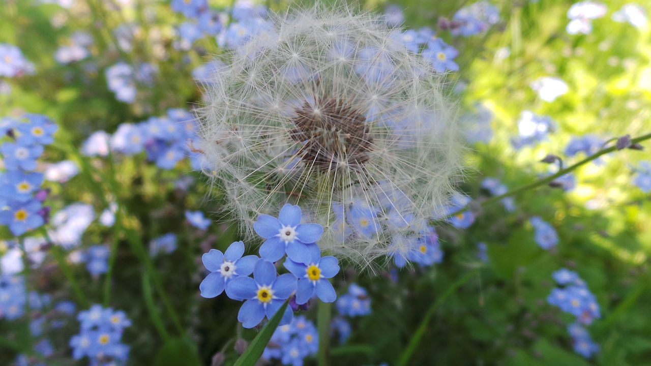 Flower Fragility Dandelion Beauty In Nature Close-up Focus On Foreground Softness Uncultivated Selective Focus Wildflower In Bloom Forget Me Not