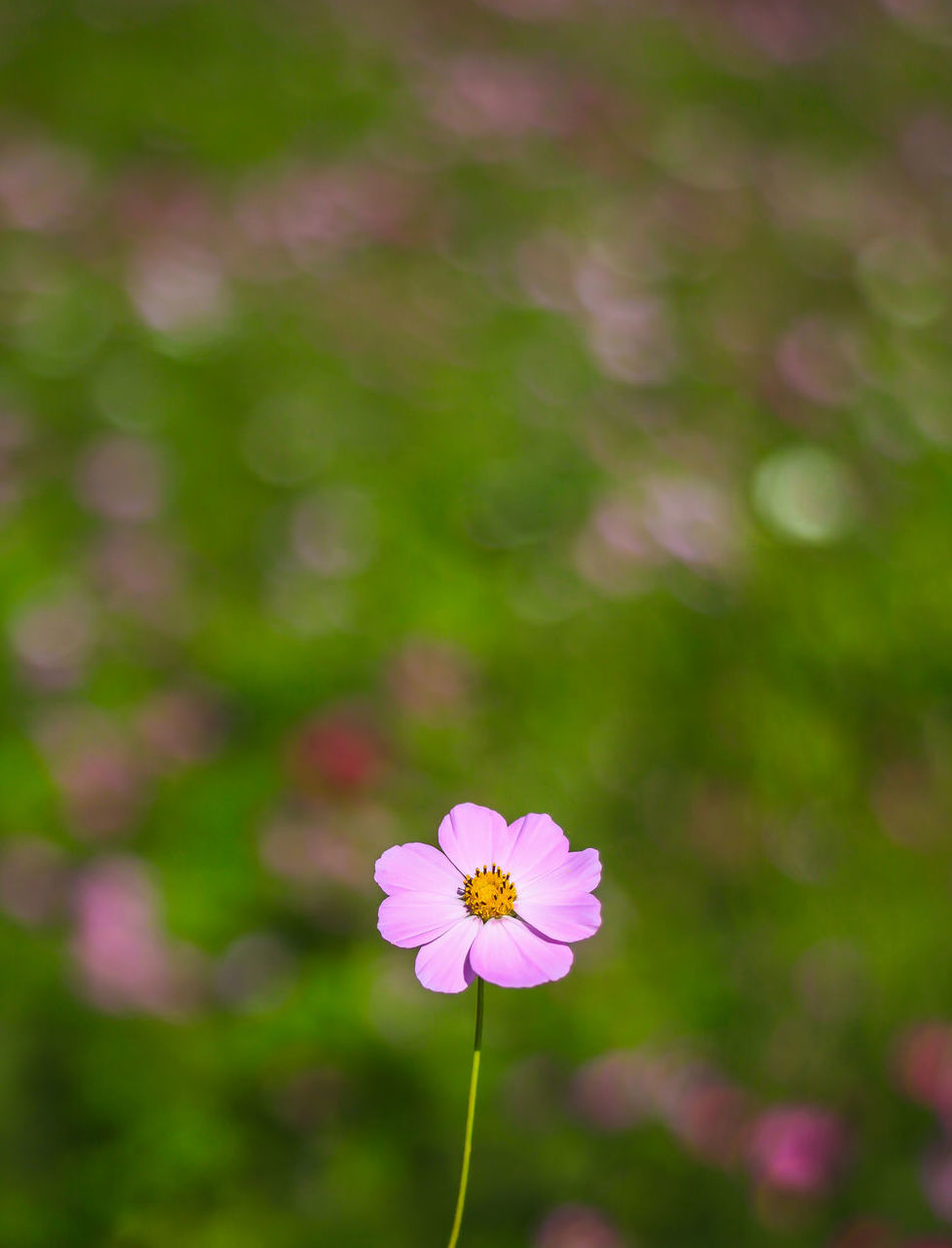 Off season, farmer feed the field by plant wildflowers Beauty In Nature Blooming Butterfly Flower Close-up Day Flower Flower Head Flowers Field Fragility Freshness Growth Nature No People Off Season Outdoors Petal Pink Color Plant Taiwan Wildflowers Winter
