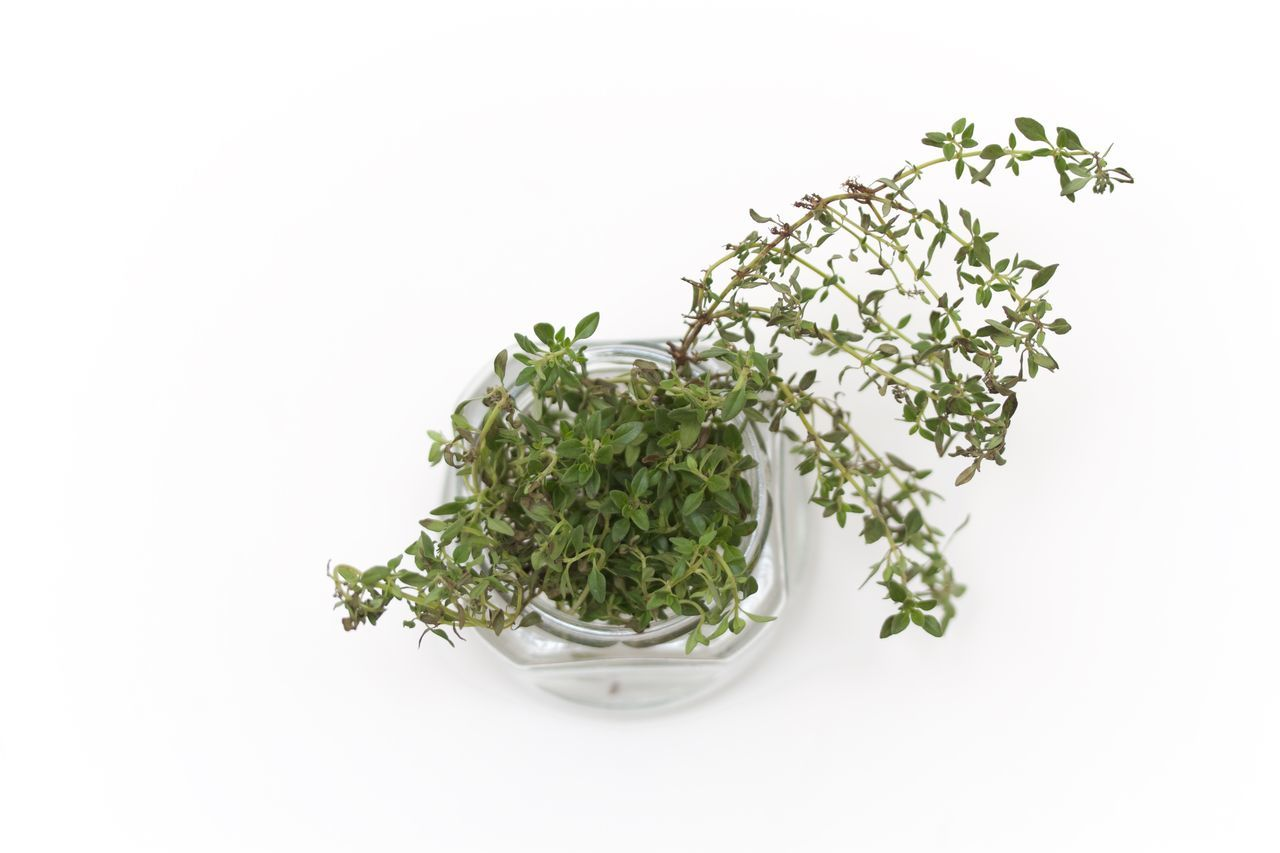 white background, studio shot, growth, plant, leaf, green color, no people, freshness, food and drink, healthy eating, nature, food, oregano, flower, close-up, day