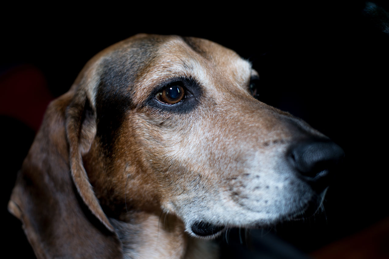dog, pets, domestic animals, one animal, animal themes, mammal, close-up, animal head, no people, indoors, black background, day, beagle