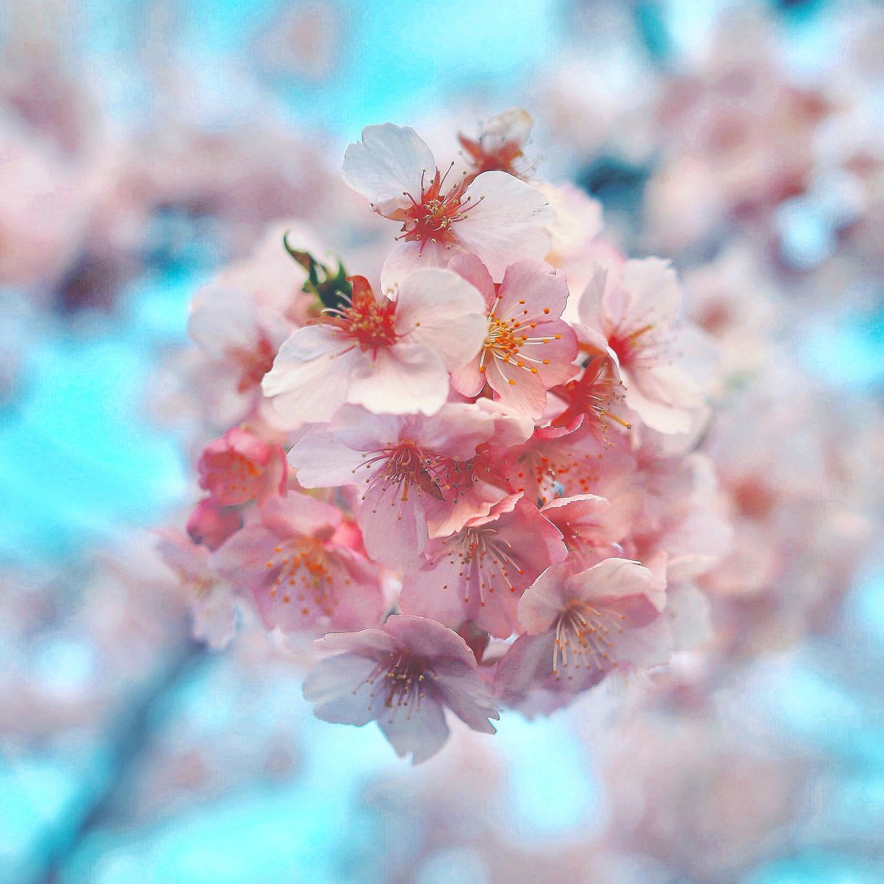 Flower Fragility Nature Beauty In Nature Growth Freshness Petal Close-up Outdoors Day Flower Head Springtime Pink Color No People Stamen Tree Blossom Sky Plum Blossom Pistil