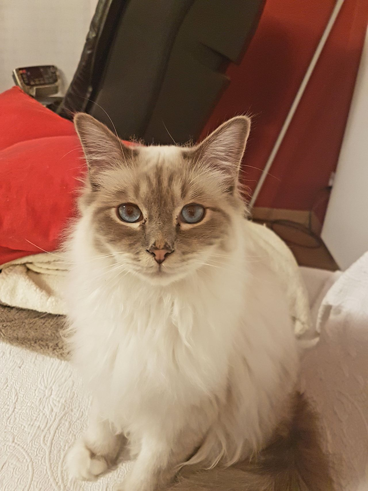 Domestic Cat Looking At Camera Pets Domestic Animals Portrait One Animal Mammal Animal Themes Feline Front View Whisker No People Indoors  Close-up Katze Cat Birman Cat Birman  Heilige Birma Katze Frontal EyeEmNewHere