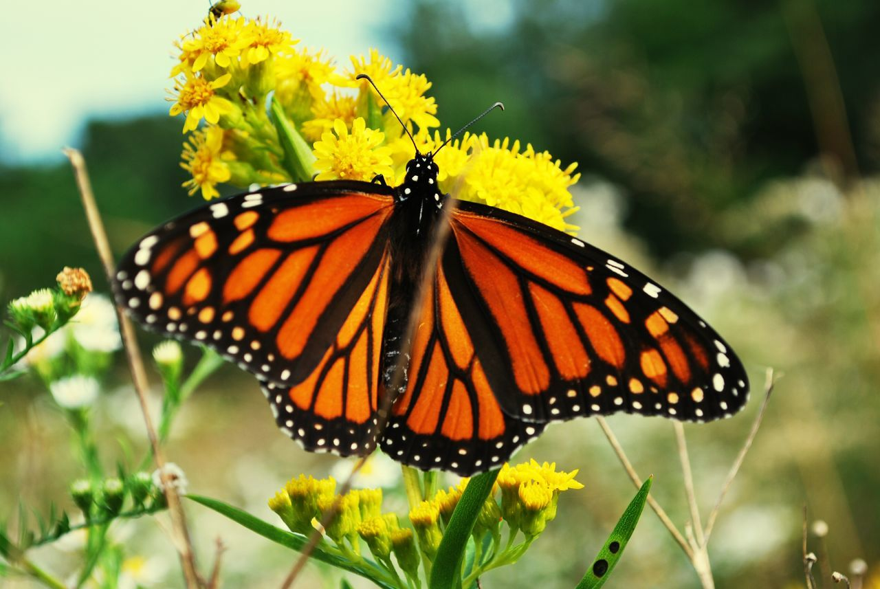 Butterfly - Insect Yellow Beauty In Nature Blossom Outdoors Multi Colored Nature