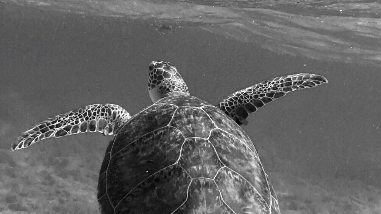 Turtle Animals In The Wild One Animal Animal Themes Sea Turtle Animal Wildlife Nature Water Swimming Outdoors Sea Life UnderSea Close-up Waterfront Beauty In Nature Ocean Tranquility Caymanislands Sea Blue The Great Outdoors - 2017 EyeEm Awards