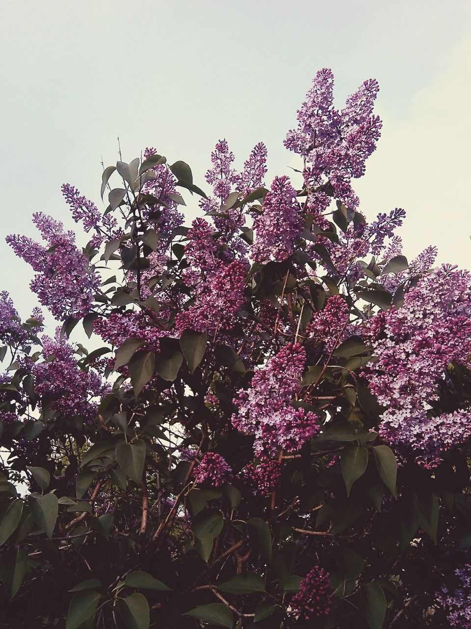 flower, nature, fragility, beauty in nature, growth, low angle view, tree, freshness, blossom, purple, no people, lilac, springtime, pink color, day, outdoors, branch, plant, sky, close-up, flower head