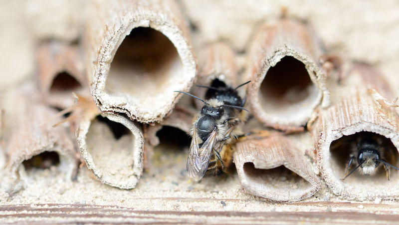 wild solitary bees (osmia bicornis) mating on insect hotel at springtime Animal Themes Animal Wildlife Animals In The Wild Bee Bees Close-up Honeycomb Insect Insect Box Insect Hotel Insect Shelter Mating Mating Pair Of Insects Nature Osmia Bicornis Outdoors