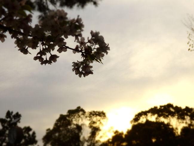 Flowers Sky Nature Blossom 桜 花 空
