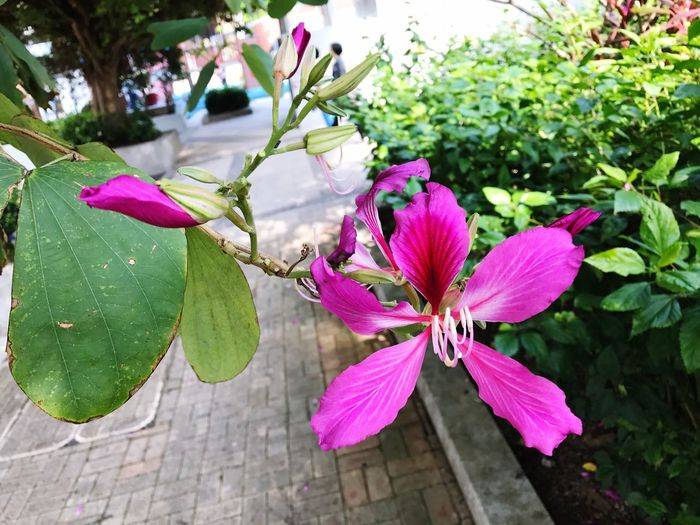 The flower of the Bauhinia blakeana tree has been the emblem of Hong Kong since the handover in 1997. Flower Beauty In Nature Nature Flower Head Pink Color Plant Blooming Close-up Outdoors Petal Bauhinia Bauhinia Blossom HongKong Hongkongcollection Hongkong Photos