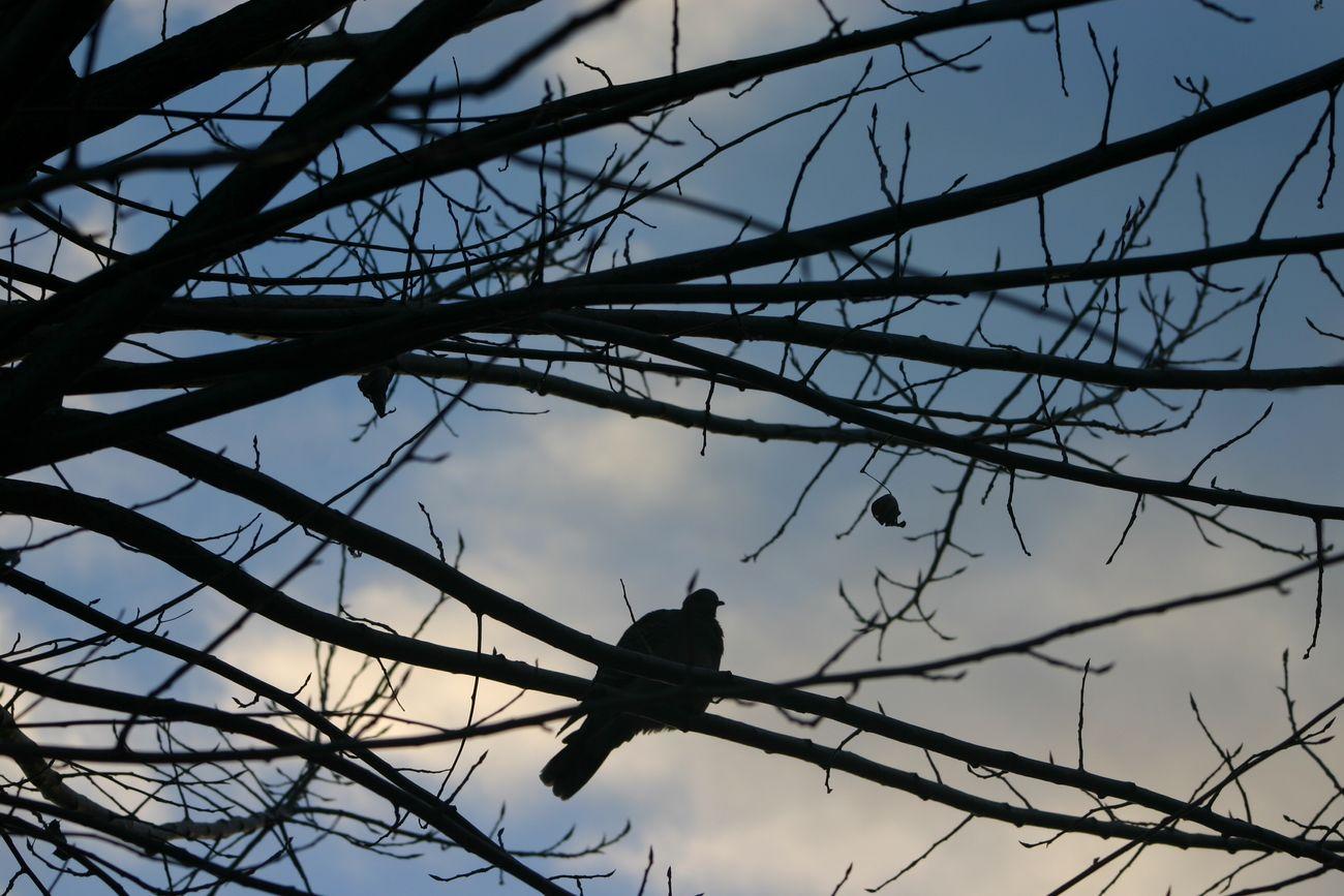 鳩と黄昏 鳩 Pigeon 黄昏 Twilight 枝 Twigs 葉 Leaf 逆光 Backlight