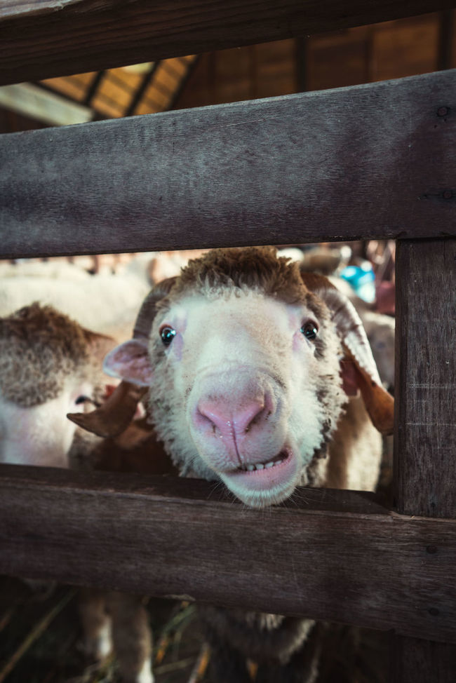 Animal Themes Domestic Animals Looking At Camera Nature Sheep Sheep Farm Sheeps Smile