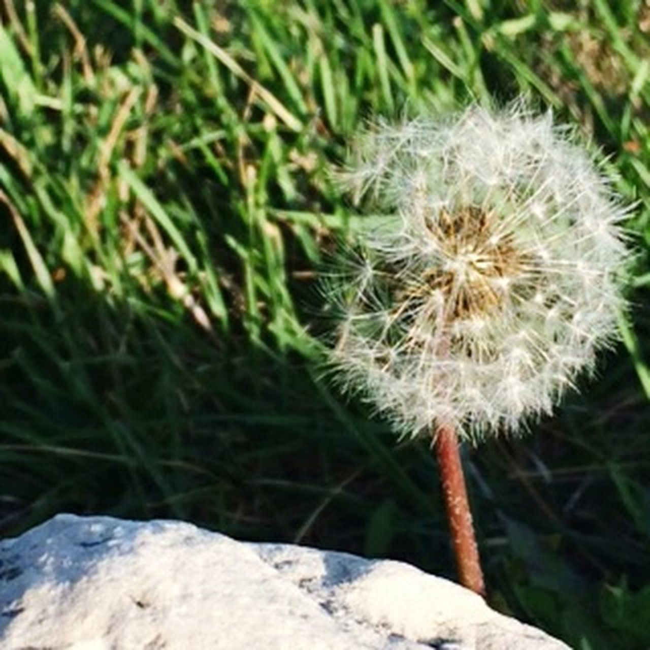 growth, nature, dandelion, flower, plant, fragility, uncultivated, beauty in nature, freshness, outdoors, close-up, no people, day, grass, flower head