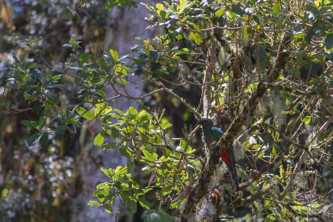 Costa Rica Wildlife Quetzal