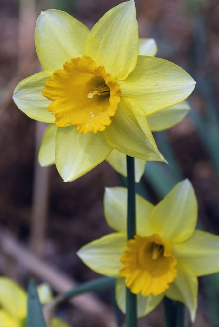 Narcissus Pseudonarcissus Signs Of Spring Spring Springtime Spring Flowers Yellow Flowers Daffodil Daffodils Daffadowndilly Wild Flowers Yellow Petals Yellow Stamens Yellow Trumpet Flower Amaryllidaceae Family