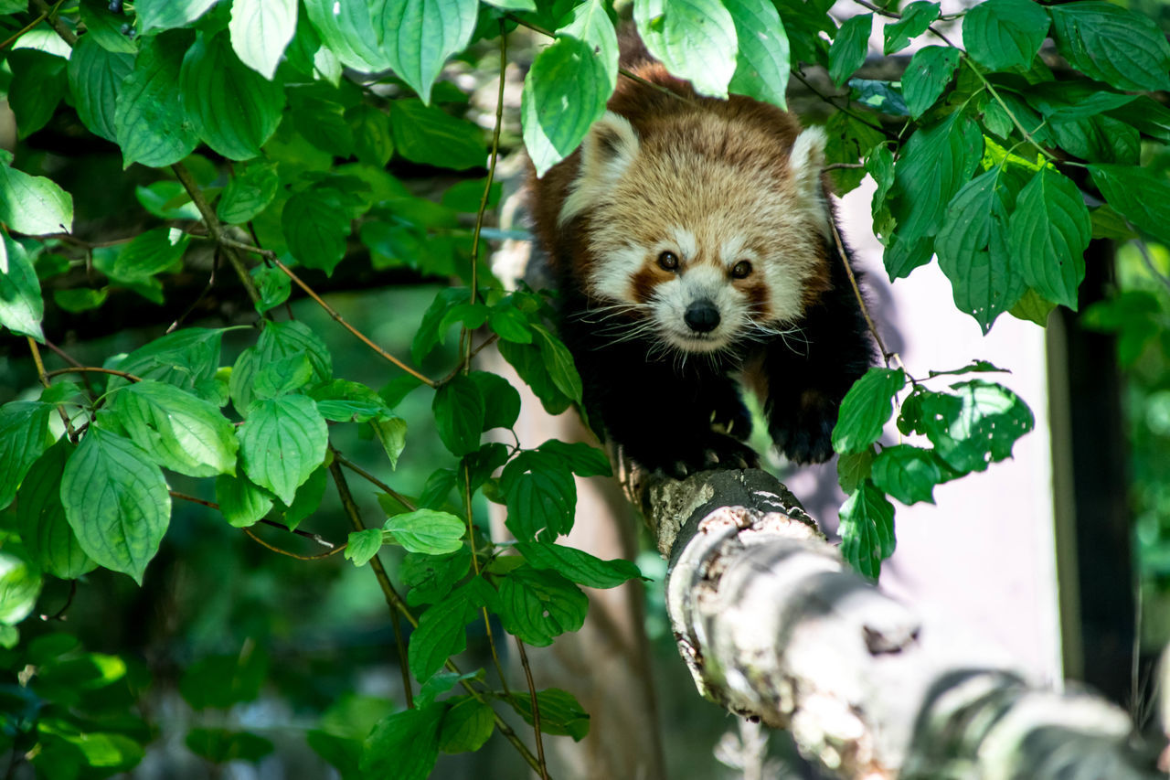 a little red panda Animal Wildlife Friendly Faces Green Color In The Trees Nature Panda - Animal Red Panda Zoo Photography