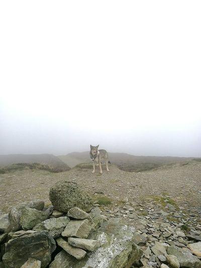 Wolf in the mist. Alone Lonewolf Wolf Dog Northeninuite Northen Inuite Wolfdog Loki Love Hill Mound Stand Alone Cute Rocks Solitude Nature Outdoors Walk Wales Mist Foggy Fog Walking Hike