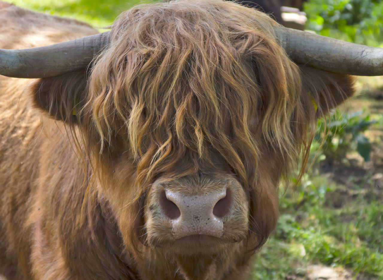 Highland Cattle Animal Animal Themes Animals Cattle Close-up Cow Cow Face Day Domestic Animals Eyeem Best Shots - Animals EyeEm Best Shots - Nature Field Focus On Foreground Grass Hairdresser Hairstyle Highland Cattle Highlands Livestock Mammal Nature No People One Animal Outdoors Portrait