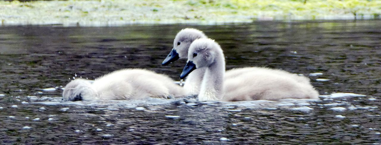 """""""I dont care what you say Sis I am not putting my head under the water!"""" Young Bird Cute Two Cygnets Young Swans Bird Young Animal Animals In The Wild Swimming White Color Water Lake Day No People Togetherness Close-up Simple Quiet Love Soft Beauty Beauty In Nature For The Love Of Photography Feathers, Soft, Contrast, Light, Delicate, Fragile, Light And Dark EyeEm Nature Lover Exceptional Nature Beak Goodnight EyeEm Water Lake"""