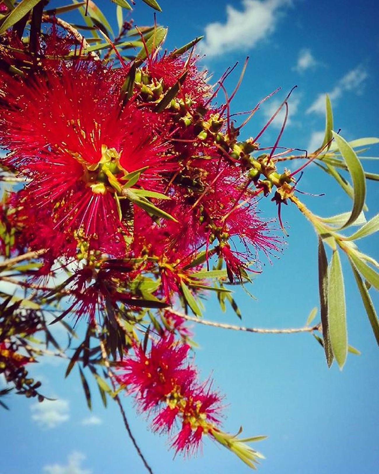 Wattle Summer NZ Newzealand Aotearoa Redandblue Flower Nature Blueskies Backyard Garden Rw_happycolors Rainbow Wall Tt_wt_rflora Ptk_flowers_red1 Hello_red