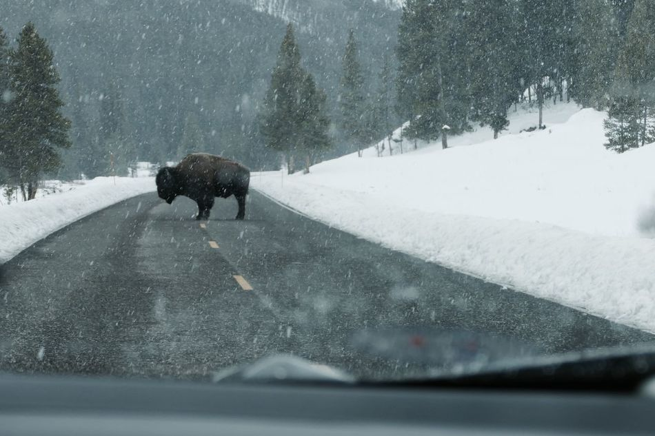 American Bison Animal Themes Animal Wildlife Animals In The Wild Car Cold Temperature Mammal Nature One Animal Outdoors Road The Drive Yellowstone National Park Yellowstone Wildlife Yellowstone Winter