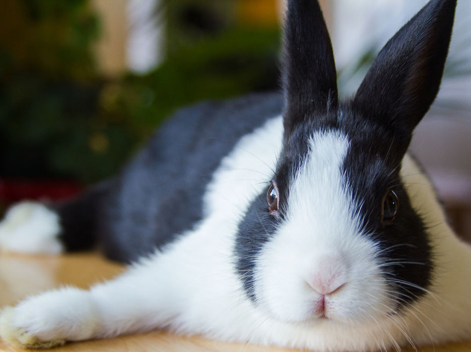 Beautiful stock photos of osterhasen, Animal Themes, Black Color, Close-Up, Domestic Animals