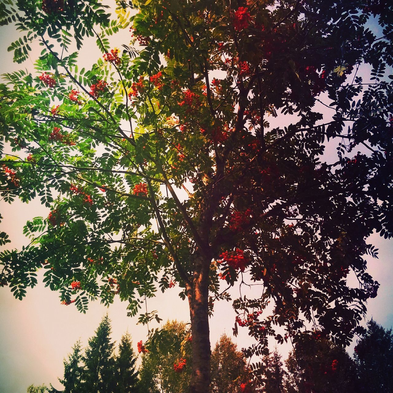 tree, growth, nature, branch, low angle view, beauty in nature, no people, tranquility, red, outdoors, day, foliage, sky
