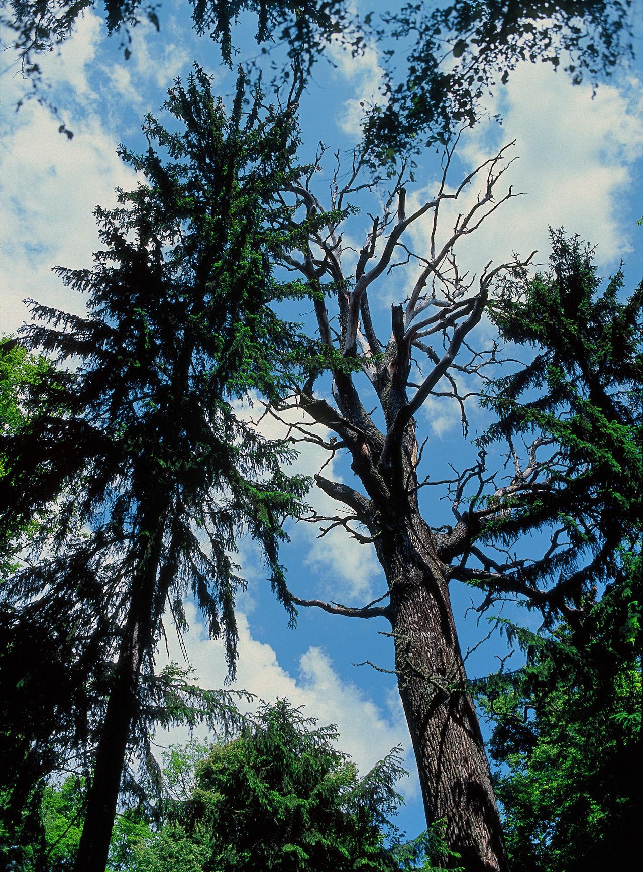 Bialowieza Bialowieza Forest Białowieska Białowieża Białowieża Forest Dead Tree Forest Nature Old Tree Outdoors Poland Puszcza Bialowieska Tree Two Trees Unesco Unesco World Heritage UNESCO World Heritage Site Wilderness