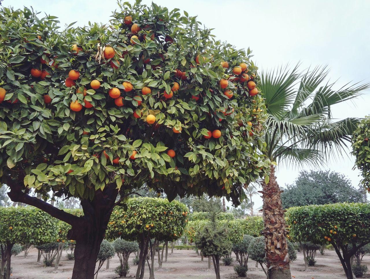 Fruit Nature Tree Growth Orange Color Orange Tree Beauty In Nature Orangetree Oranges Orange Marrakech Marroco
