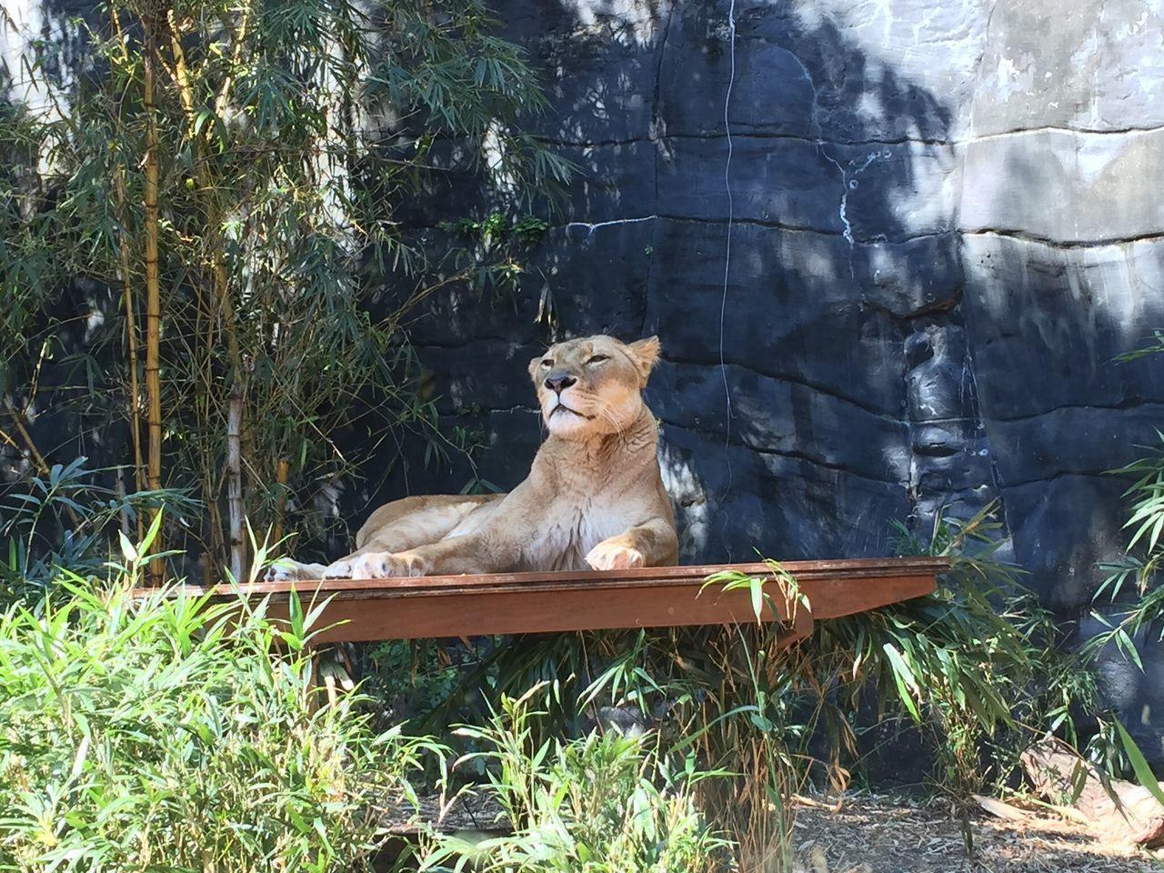 Beautiful stock photos of löwe, Animal Themes, Animal Wildlife, Animals In Captivity, Carnivora