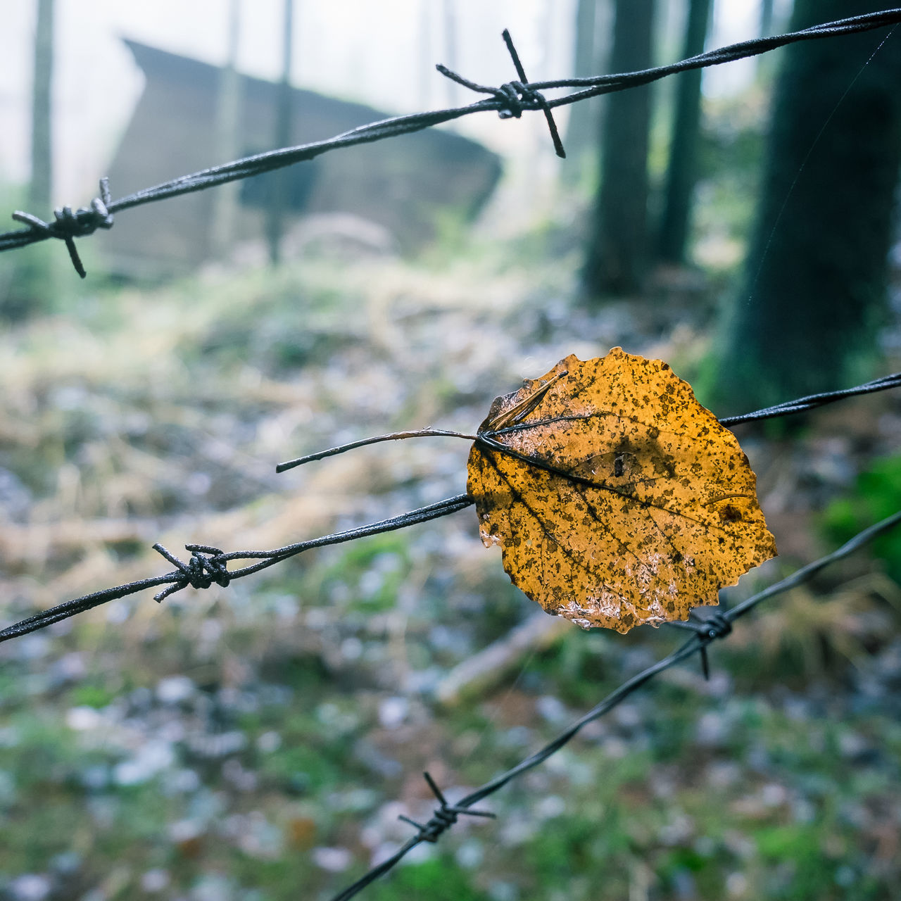 Leaf is stuck Autumn Barbed Wire Close-up Darkness Day Fall Focus On Foreground Fog Foggy Gloomy Gloomy Weather Leaf Mist Misty Nature No People Outdoors Sharp Stuck Wired