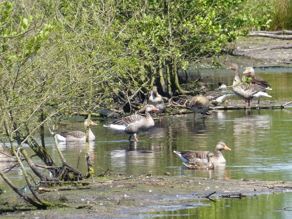Wild geese in summer in renatured moor forest in Aurich Ostfriesland - Northern Germany - North Sea... :-) Day Duck Ducks Forest Gans Geese Gänse Lake Moorland Wilderness Moorwald Moorwald Aurich Natural Reserve Nature Naturschutz No People Ostfriesland Ostfriesland Kultur Ostfriesland Landschaft Ostfriesland Moorwald Aurich Outdoors Water Water Forest Wild Geese Wildgans Wildgänse
