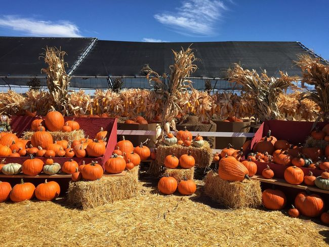 We visited this Pumpkin Patch with games and activities with my niece when we visited. Abundance Autumn Choice Day Halloween Heap Large Group Of Objects Market Stall Pumpkin Retail  Rio Rancho, New Mexico Ripe Stack Variation Vegetable