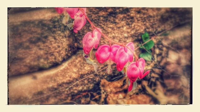 Bleeding hearts Plant Nature Freshness No People Flower Outdoors Day Close-up Beauty In Nature Fragility Samsung Galaxy S7 Edge Eye4photography  Green Color Pink