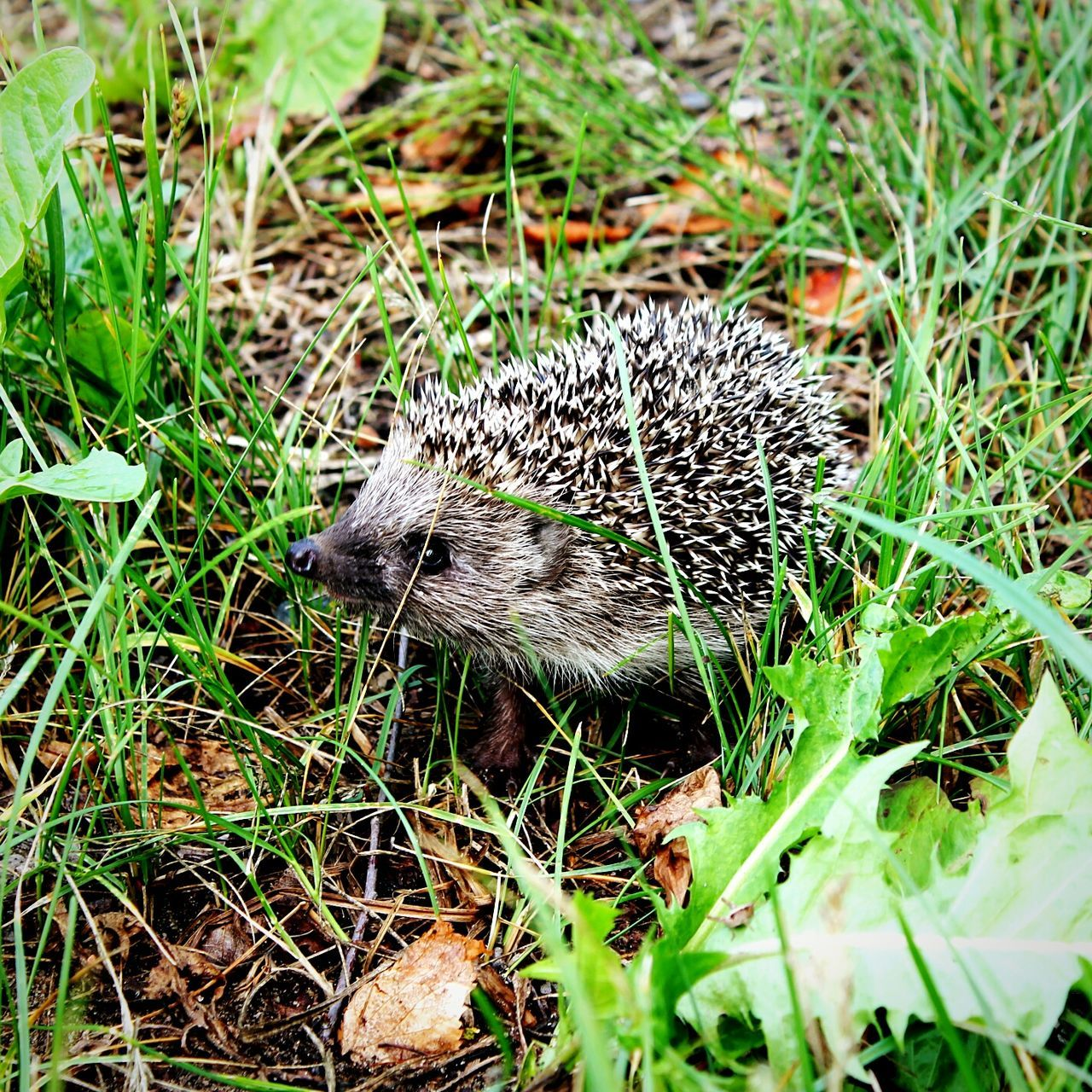 Animal Themes Animals In The Wild Nature Grass No People Outdoors Animal Wildlife Day Close-up Hedgehog Hedgehog In My Garden . Hedgehogs On The Road