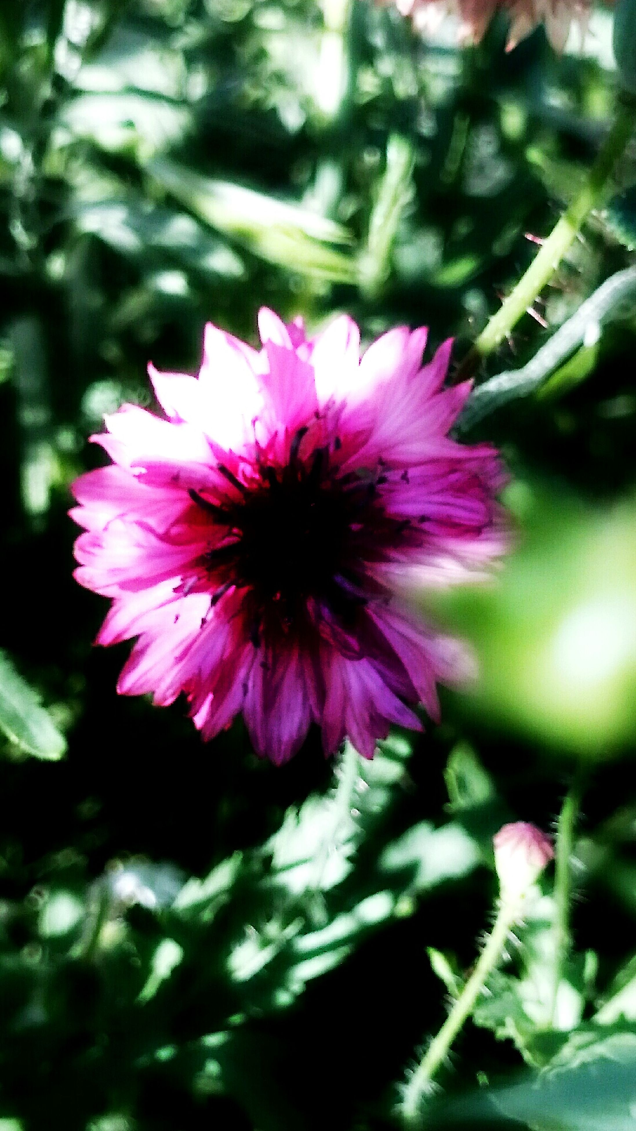 flower, freshness, petal, fragility, growth, flower head, pink color, beauty in nature, close-up, focus on foreground, blooming, nature, plant, single flower, in bloom, leaf, day, pollen, park - man made space, outdoors