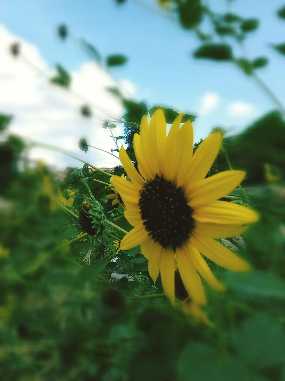Sunflower Friday Capturing Beauty Photography The Moment Sunflower Yellow Sonnenblume Color Photography Photography Beauty Fast Through A Slow-motion Landscape