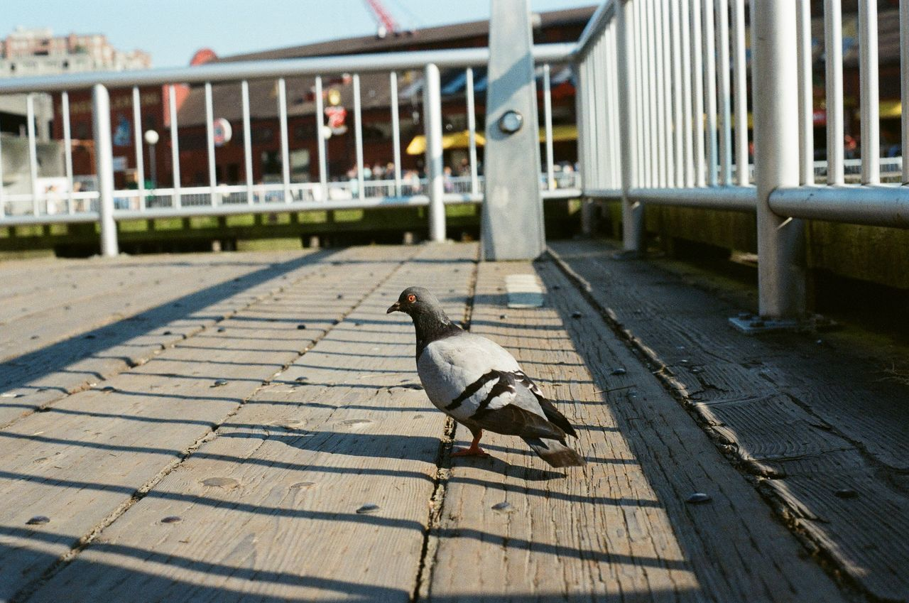 Close-Up Of Pigeon On Boardwalk
