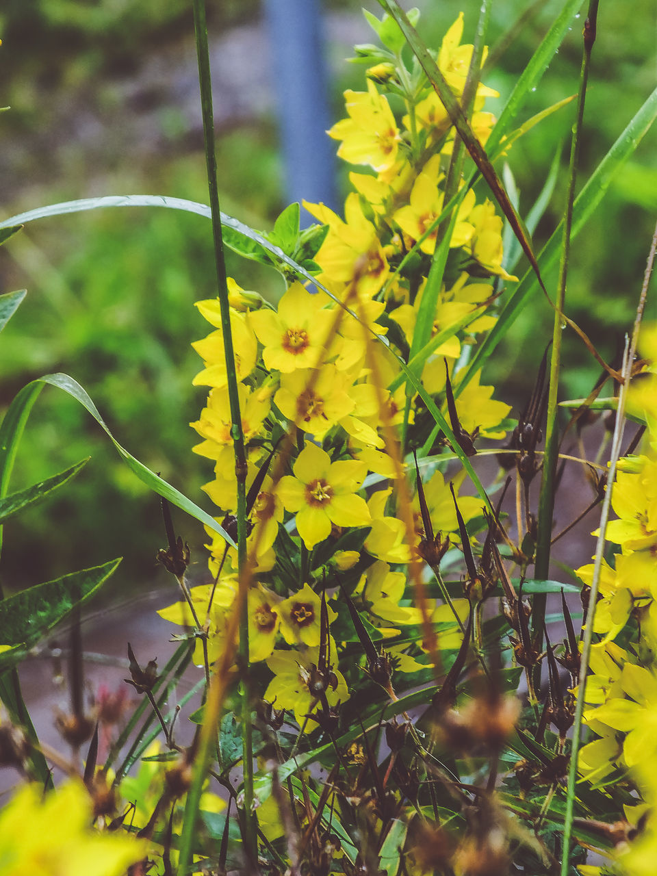 yellow, growth, plant, flower, nature, outdoors, day, beauty in nature, green color, no people, fragility, leaf, grass, close-up, freshness, blooming, flower head