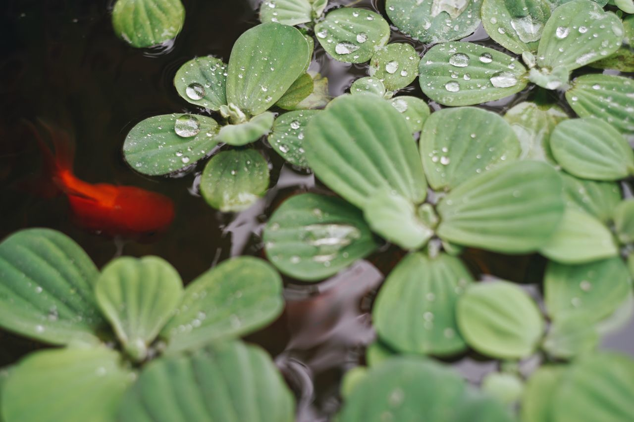 Water Nature Drop Leaf Wet Growth Plant Beauty In Nature Green Color Floating On Water Freshness Close-up Outdoors No People Fragility Lily Pad Lake Day Rainy Season Goldfish