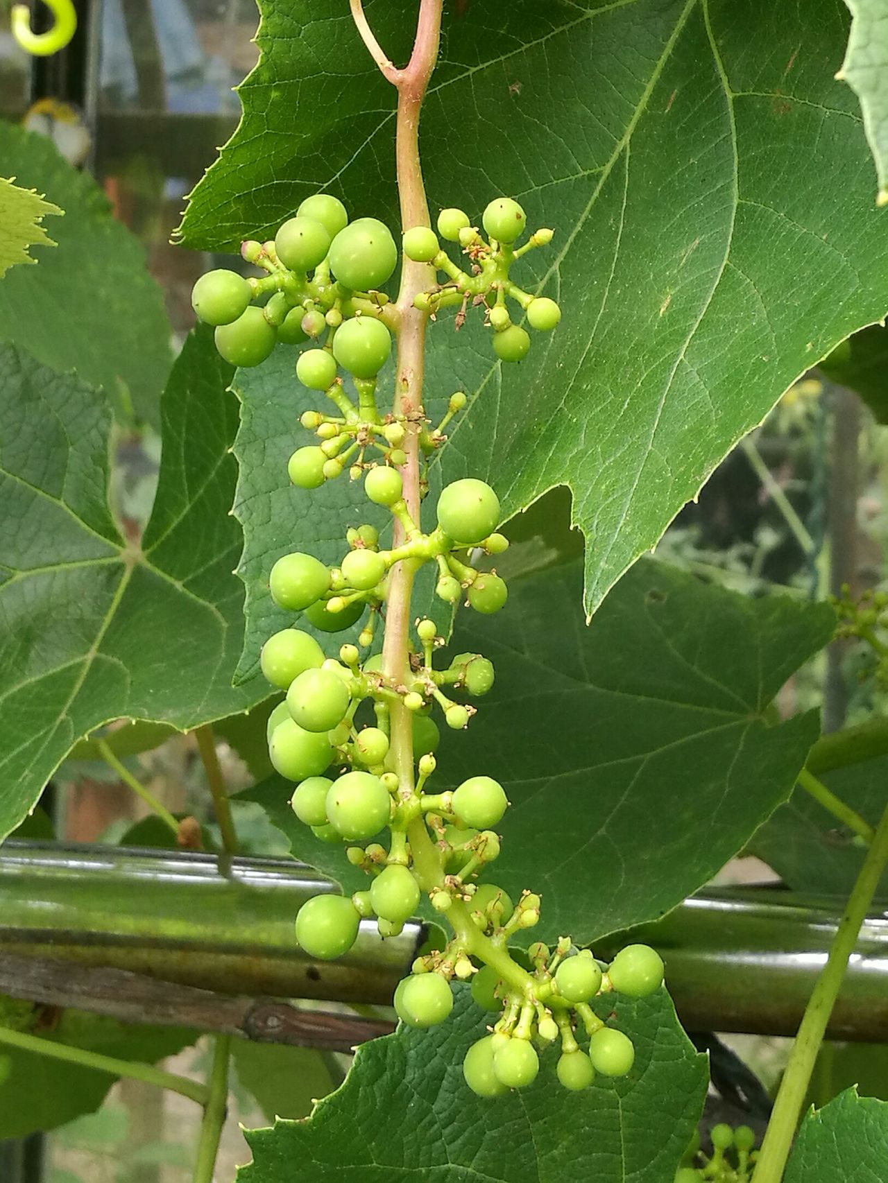 Nature_collection EyeEm Nature Lover Eyeem Collection Young Grapes