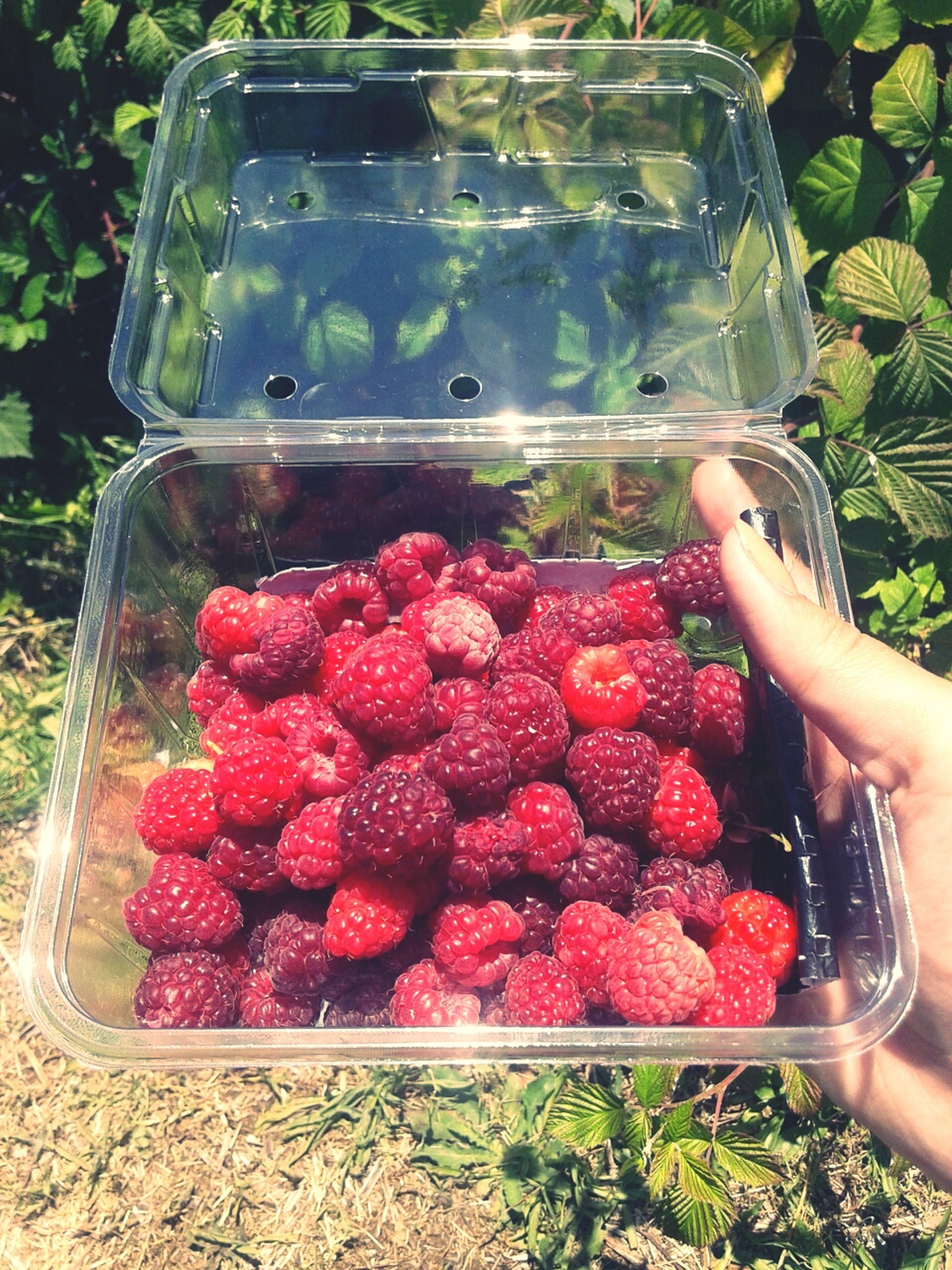 Nature Photography Freshlypicked Raspberries Fruits Perth Raspberry Farm