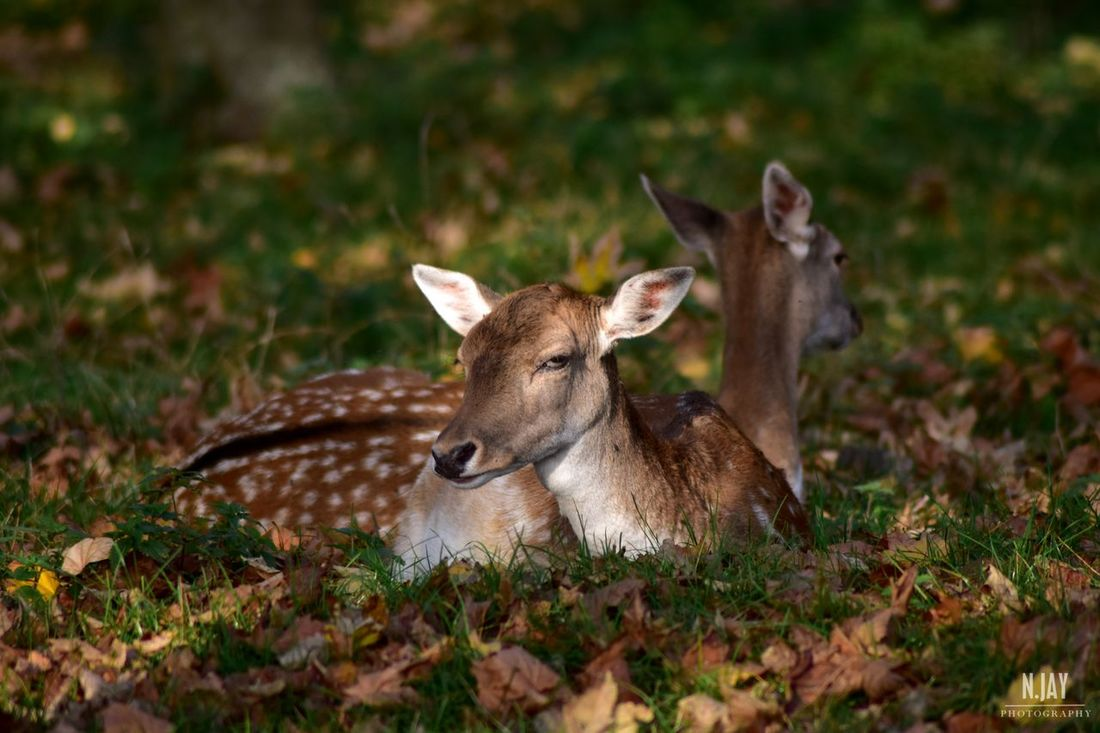 Deer Deers Deersighting Animals Couple Animal Wildlife Wildlife Wildlife & Nature Animals In The Wild Autumn Autumn Colors Colors Of Autumn Fall Fall Beauty Mammal Grass Leaves Grass Beauty In Nature Spotted Deer Spotted White Spots EyeEm Nature Lover EyeEm Masterclass Nature_collection