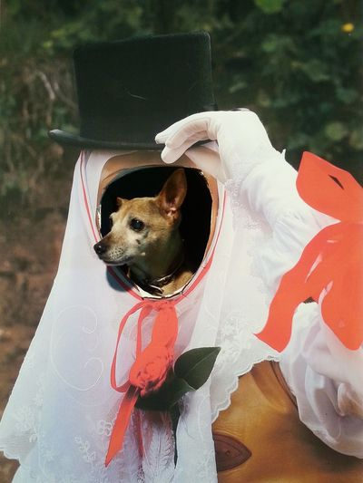 Sartiglia Oristano Carnival Dog Pincher Dog❤ Amoremio Flea❤