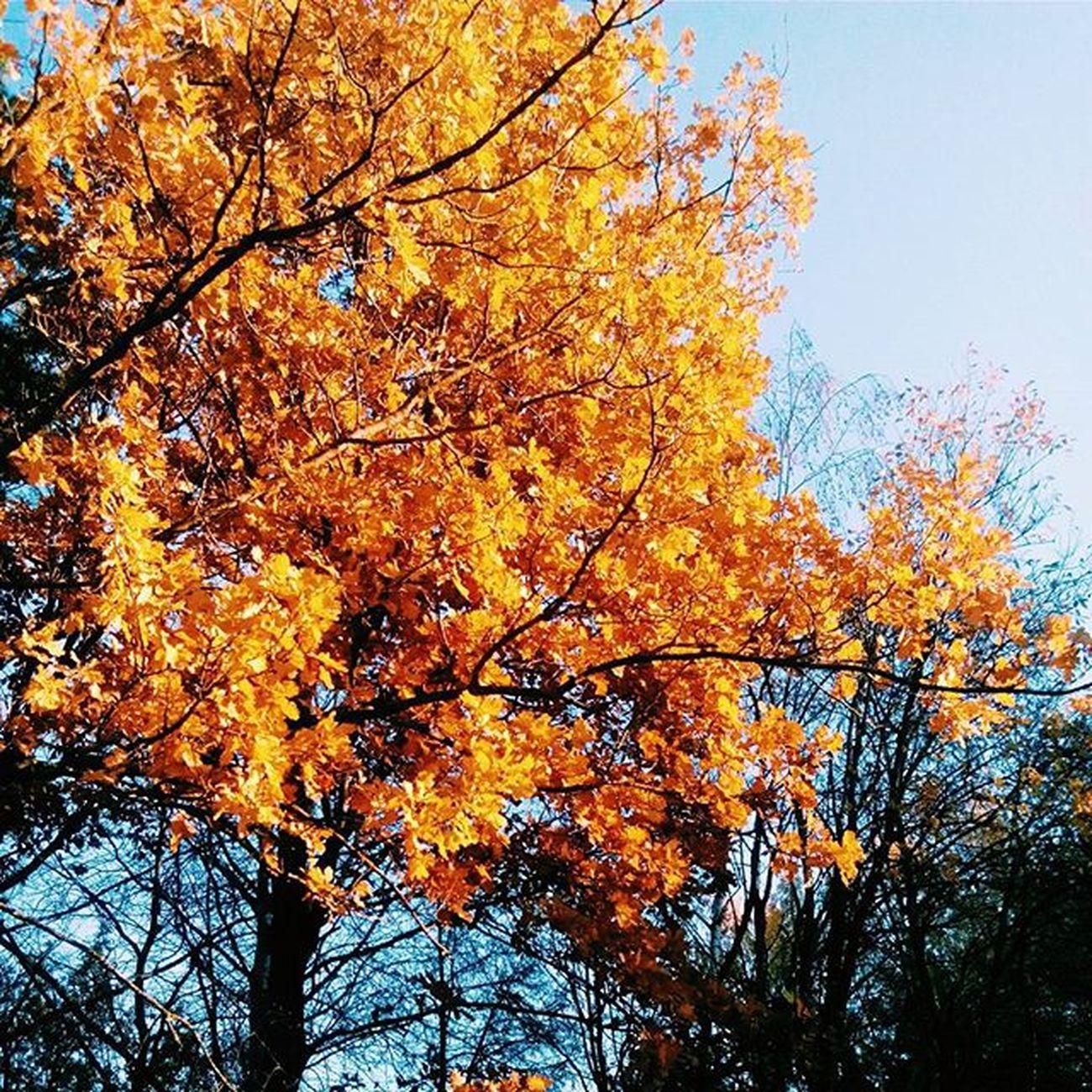 Холодно,но так красиво💕😍 Autumn Yellow Orang Tree Bsu Rocha Blue Sky T4l Followme Goodtime Goodday Vscocam Vscobe Vscocam Vscobelarus Vscominsk