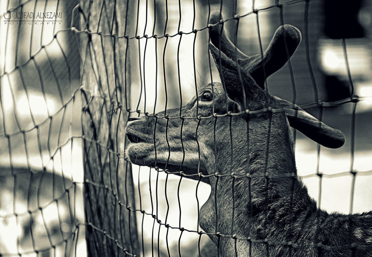 cage, animal themes, one animal, animals in captivity, zoo, trapped, no people, day, close-up, indoors, mammal, confined space, nature
