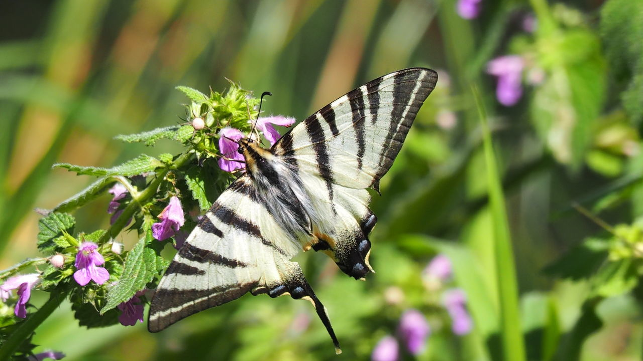 insect, animal themes, animals in the wild, butterfly - insect, one animal, flower, nature, butterfly, focus on foreground, plant, fragility, no people, freshness, outdoors, growth, day, pollination, close-up, beauty in nature, animal wildlife, spread wings, flower head, perching