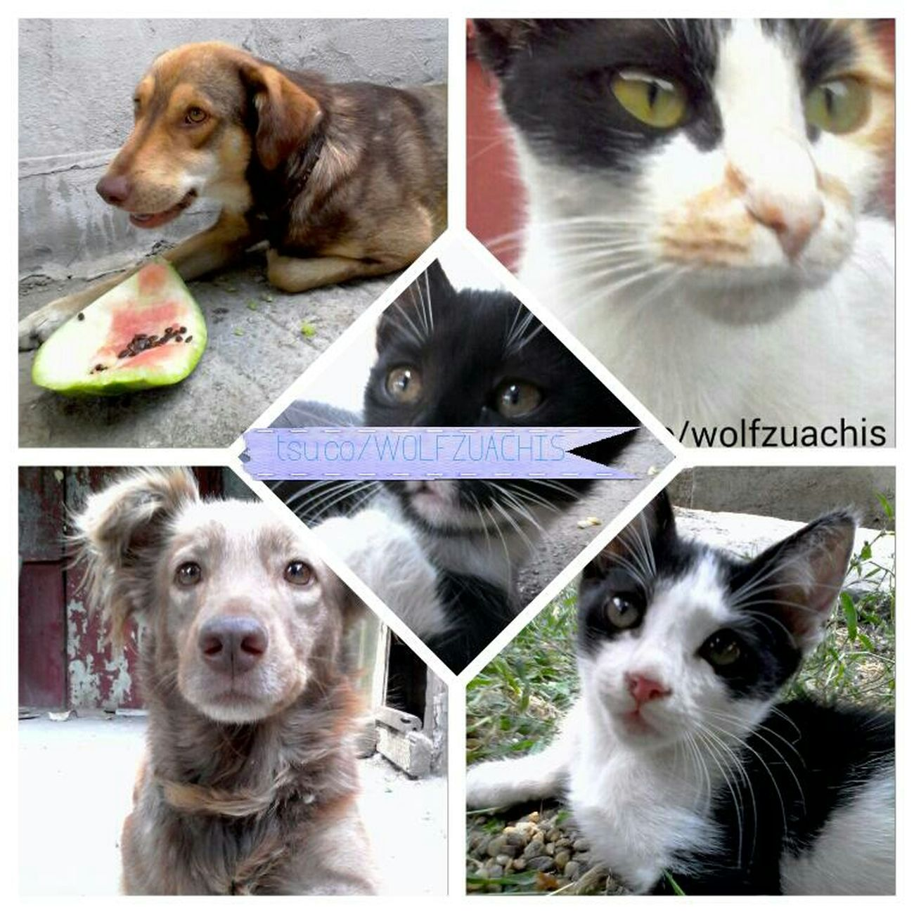 Pet Collage Wolfzuachis Colaj