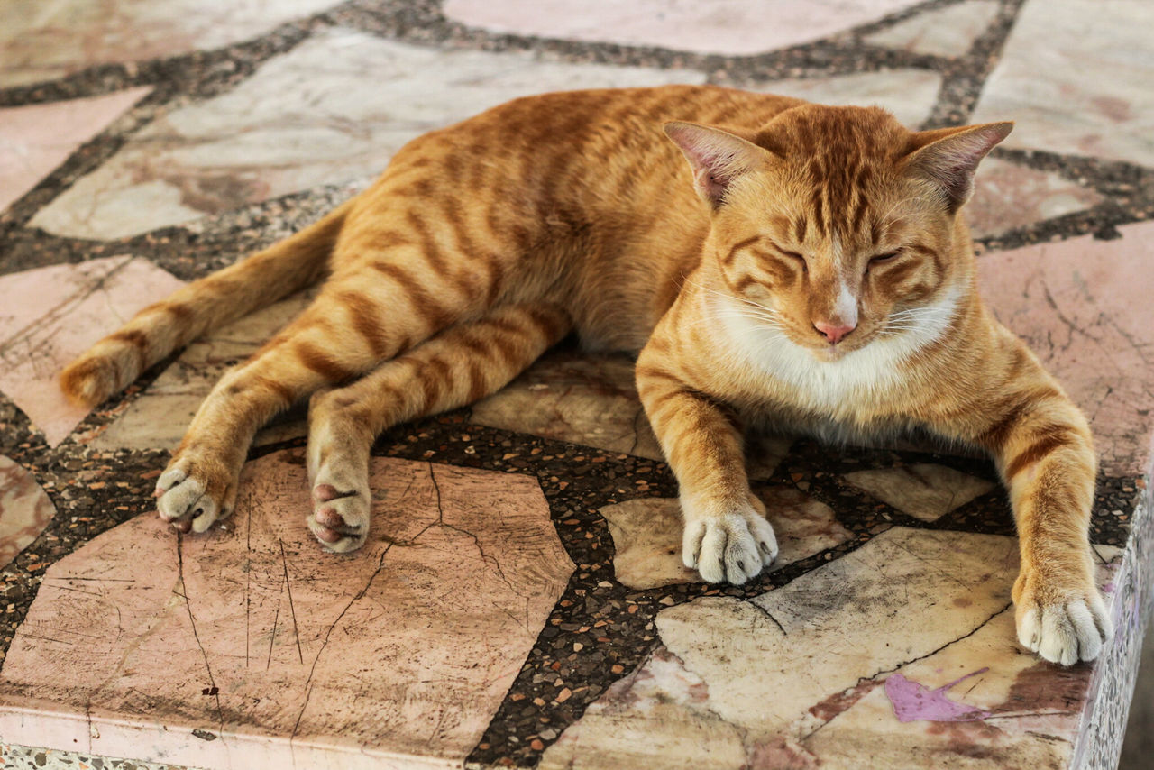 domestic cat, one animal, feline, animal themes, no people, lying down, mammal, relaxation, day, portrait, pets, indoors, domestic animals, close-up