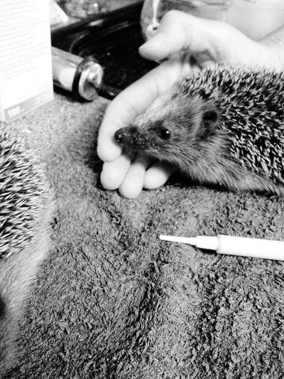Feeding little Hedgehog Small Animal Black And White Black & White Blackandwhite Photography Animal Animal Photography Animal_collection Animal Love Black&white Blackandwhitephotography Blacknwhite