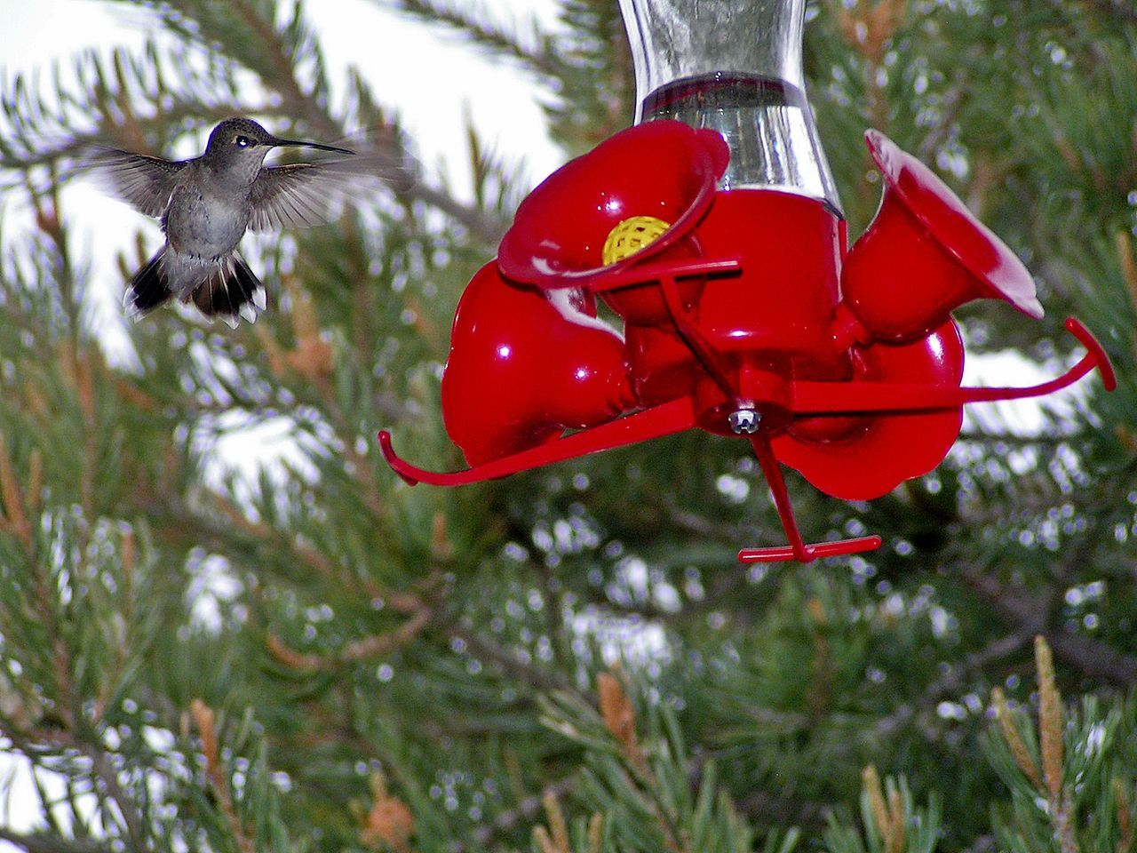 """Coming In!""...Ruby Throat Hummingbird.... Animal Themes Animal Wildlife Animals In The Wild Beautiful Birds Beautiful Nature Bird Bird Feeder Birds Of EyeEm  Close-up Day EyeEm Gallery EyeEm Nature Lover Fast Bird Flying Focus On Foreground Hummingbird Hummingbirdphotography Mid-air Nature No People One Animal Outdoors Red Spread Wings Utah"